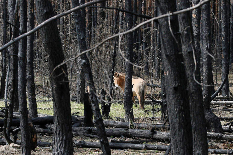 Ein Przewalski-Pferd in der Tschernobyl-Zone