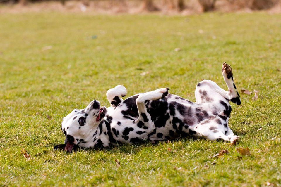 Dalmatiner wälzt sich im Gras
