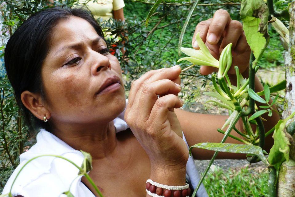 Mit Fingerspitzengefühl bestäubt Ruth Cayapa eine Vanilleblüte