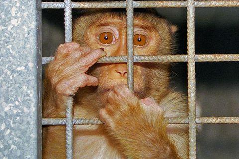 Ein Affe klammert sich um den Käfig im Versuchslabor