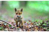 """22.04.2021      """"Unter einer Tarndecke saß ich mit einem Fotofreund in einem Waldstück unweit einer kleinen Siedlung. Die Fähe hatte sich schon auf die Jagd begeben. Und die jungen Füchse erkundeten den Wald. Alles war so spannend und der Kleine lief drei Meter an mir vorbei, ohne mich zu bemerken.""""      Ort:Waldgebiet bei Mittweida  Kamera:Nikon D800E Sigma 120-300mm 2,8  Mehr Fotos vonMasinefoto"""