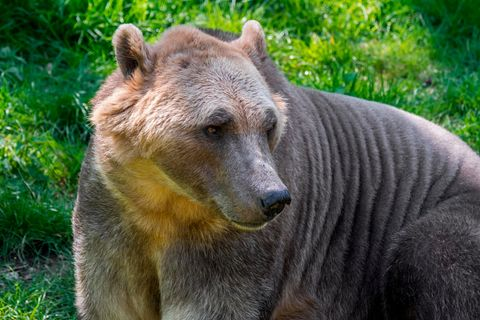 Hybride aus Eisbären und Grizzlys haben körperliche Merkmale von beiden Arten