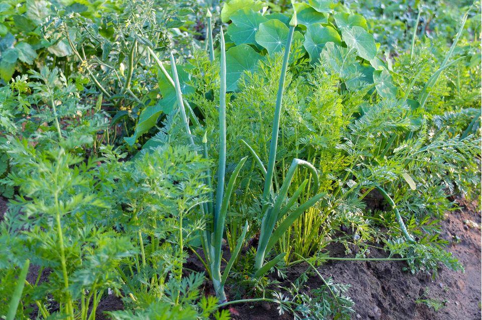 Mischkultur im Garten: Möhre und Zwiebel