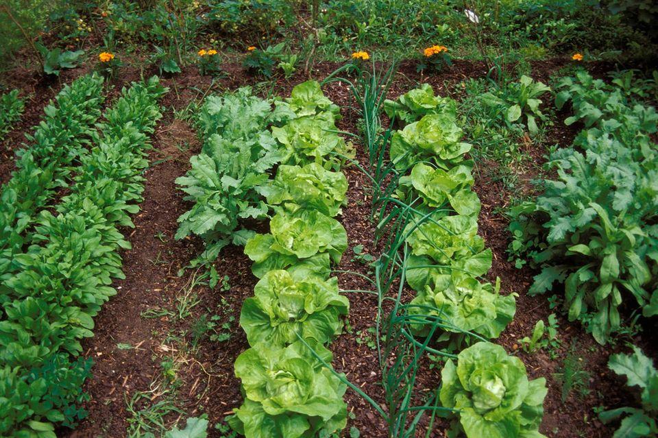 Eine gut durchdachte Mischkultur sorgt im Gemüsebeet für gute Nachbarschaft und gesunde Pflanzen