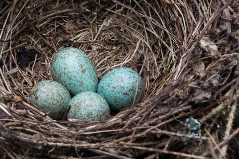 Eier eines Blauhähers