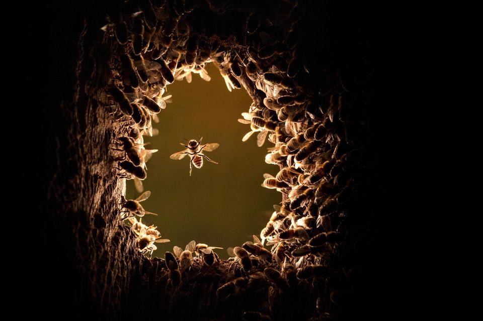 Ein Bienenvolk hat die verlassene Nisthöhle eines Spechts bezogen: Binnen Wochen wird es auf Tausende Tiere anwachsen – und ein faszinierend komplexes Gemeinwesen errichten