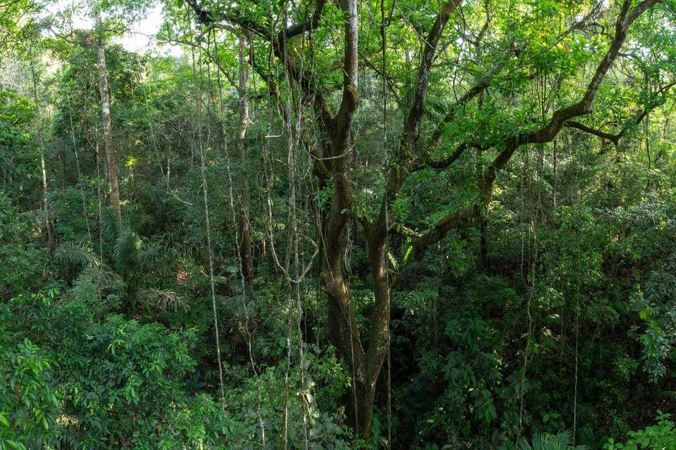 Nachwuchstalente: Ein 30 Meter hoher Espavébaum, den Lianen umranken: Der Regenwald entlang Panamas Pipeline Road wirkt wie unberührte Natur, ist aber erst 70 Jahre alt. Junger tropischer Sekundärwald ist eine hervorragende CO2-Senke – und muss nicht von Menschenhand gepflanzt werden
