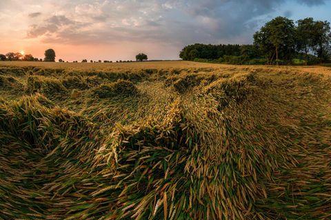 Weizenfeld: bei Laer, Kreis Steinfurt, Nordrhein-Westfalen, Deutschland, Europa, 27.07.2012: Teile eines fast reifen Weizenfeldes haben sich flach gelegt. Martin Franz / VISUM