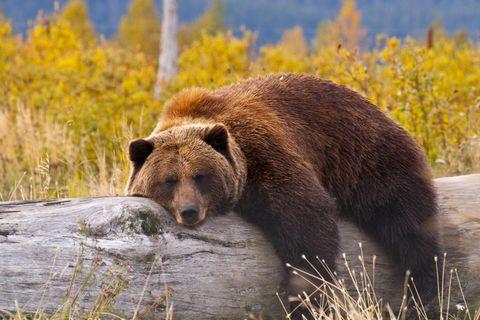 Grizzly liegt auf einem Baumstamm
