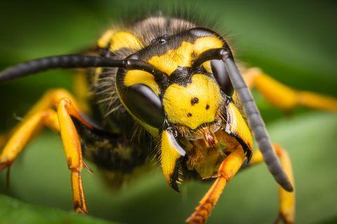 Makro-Aufnahme einer Wespe