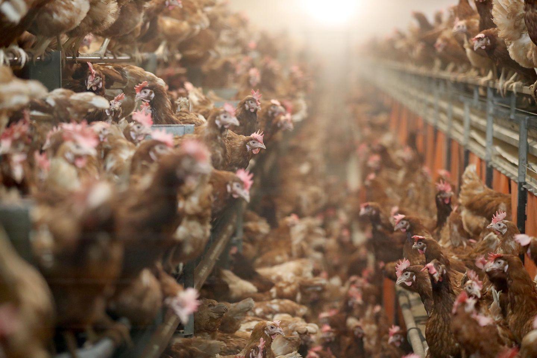 Hühner in der Massentierhaltung