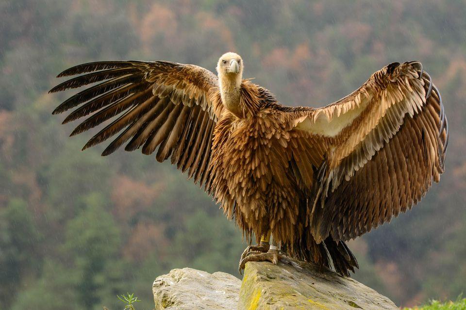 Gänsegeier breitet die Flügel aus