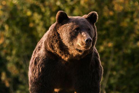Der 17-jährige Braunbär Arthur war das vielleicht größte lebende Exemplar in Europa