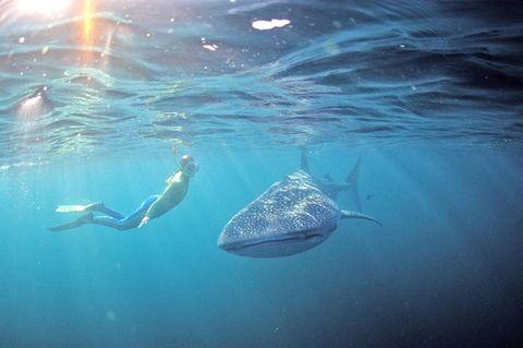 Taucher beobachtet Walhai in Wetsern Australia