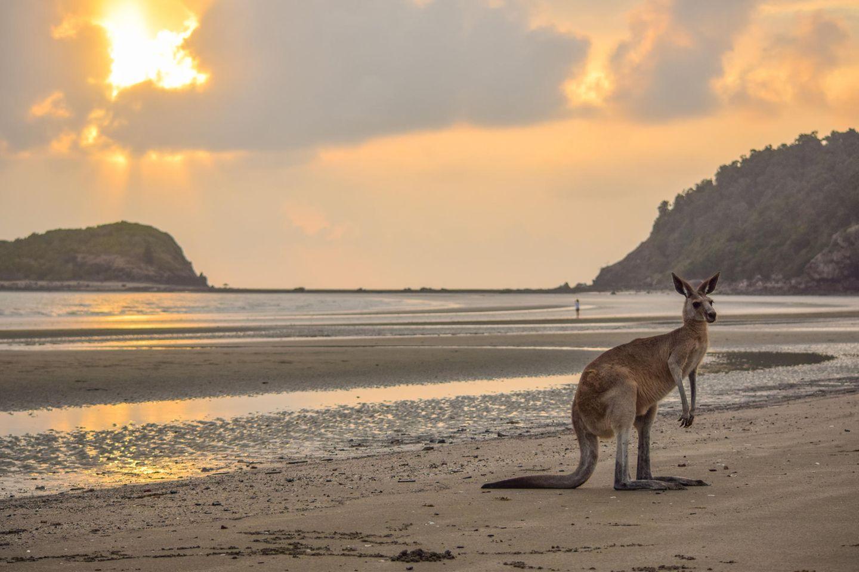 Känguru steht am Strand des Cape-Hillsborough-Nationalpark