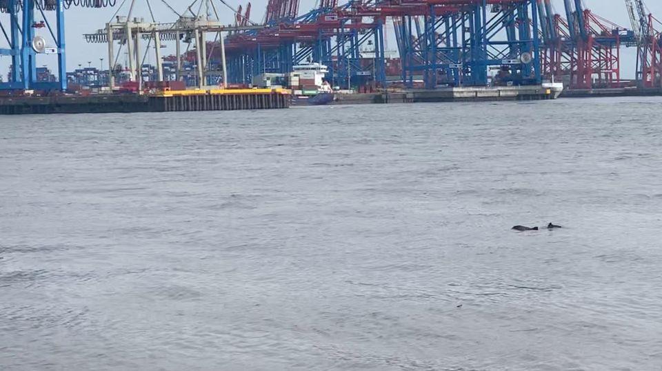 Mit Video: Immer weniger Schweinswale im Hamburger Hafen