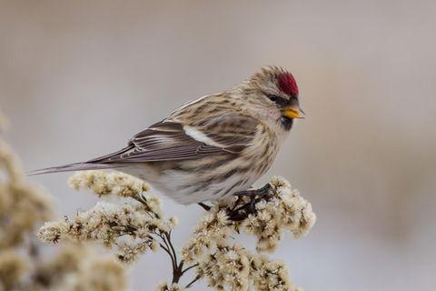 Bilderquiz: Experten-Quiz: Erkennen Sie diese heimischen Vögel?