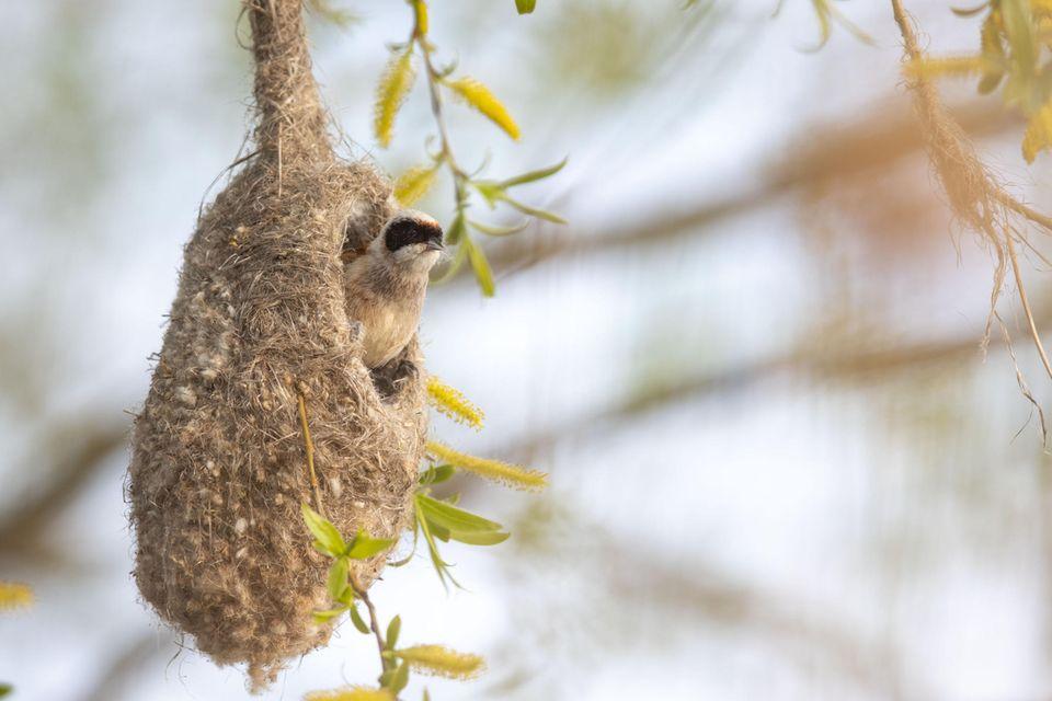 """12.05.2021      """"Durch Zufall konnte ich letztes Wochenende ein Beutelmeisenpäärchen während des Nestbaus entdecken. Ich war völlig fasziniert und konnte mein Glück kaum fassen. Mehrere Stunden beobachtete ich die beiden, wie sie immer wieder zum Nest zurück kamen, um dieses weiter auszubauen.""""      Kamera:EOS R5 Canon 600mm 4.0  Mehr Fotos vonAnne Lindner"""