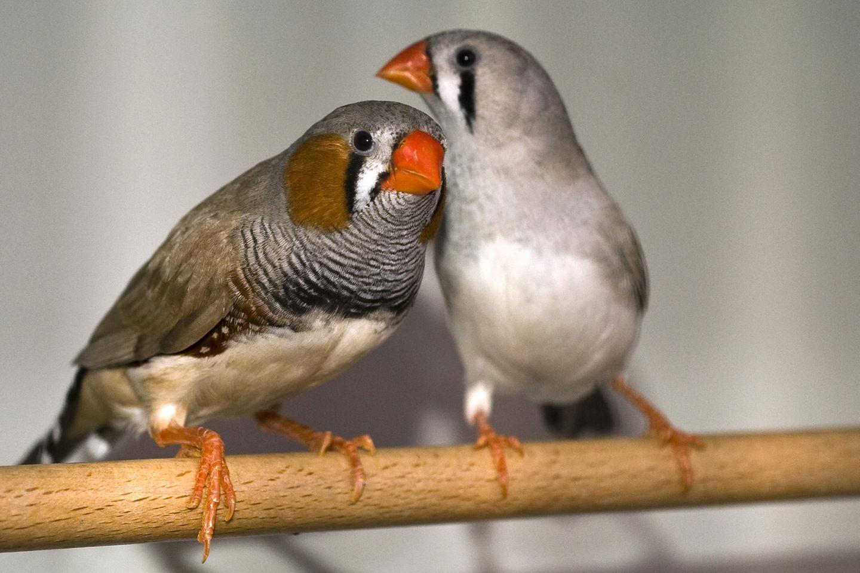 Im Rahmen einer Studie an männlichen Zebrafinken-Küken hat ein Forschungsteam des Max-Planck-Instituts für Ornithologie in Seewiesen bei Starnberg festgestellt, dass ständiger Verkehrslärm Jungvögel beim Erlernen ihres Gesangs stört und ihr Immunsystem hemmt
