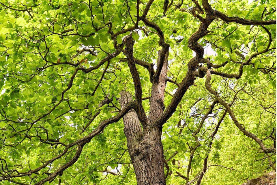 Nicht nur der Stamm eines Baums wächst beständig in die Breite (hier bei einer Traubeneiche), auch die Wurzeln legen Schicht um Schicht an Umfang zu