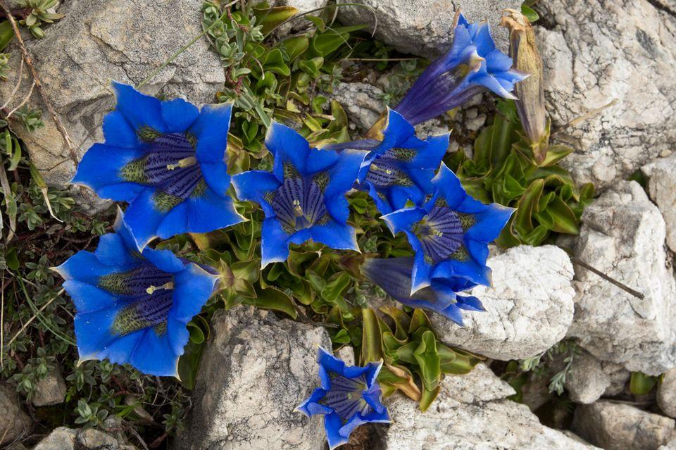 Blaue Alpenblüher wie dieser Ligurische Glocken-Enzian (Gentiana ligustica) haben besonders gute Chancen, von der Wissenschaft unter die Lupe genommen zu werden