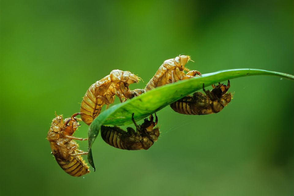 Nymphen-Exoskelette von Zikaden der Brut X, die vermehrt im Osten der USA alle 17 Jahre auftreten