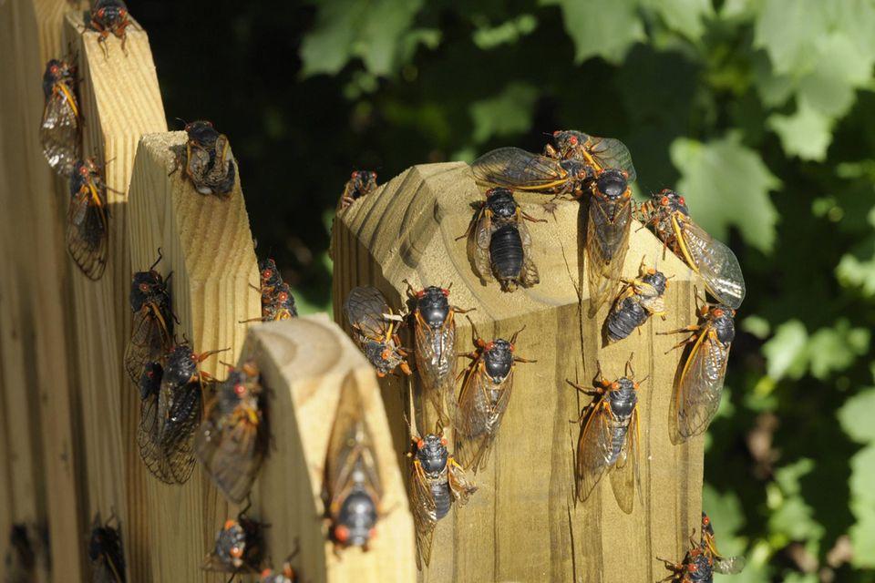 Zikaden sitzen an einem Holzzaun