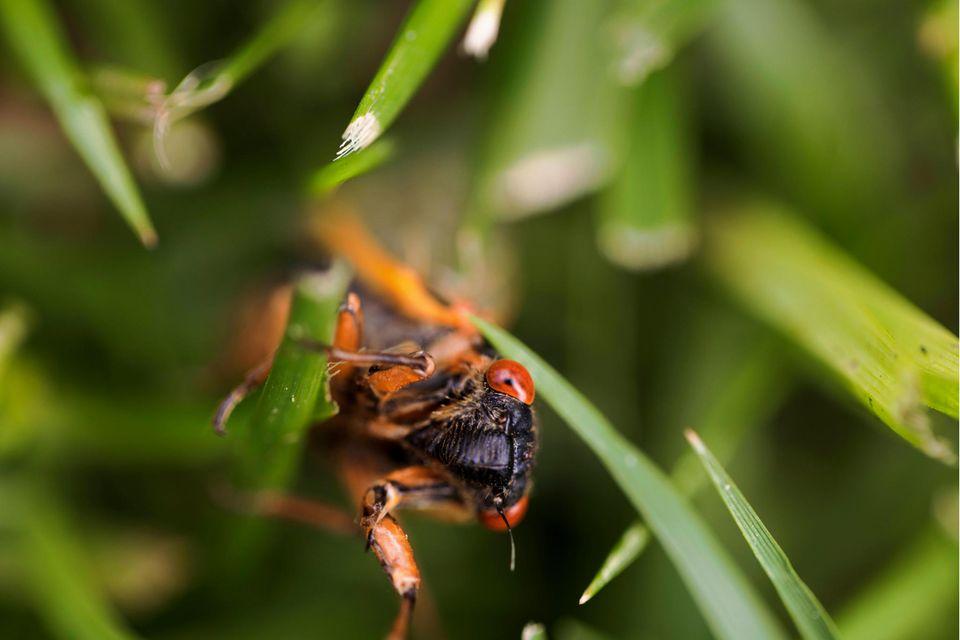 Eine Siebzehnjahr-Zikade Mitte Mai in der Stadt Bloomington im US-Bundesstaat Indiana