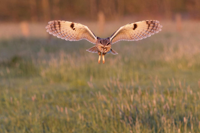 """18.05.2021      """"Bei wunderschönem Abendlicht konnten wir eine Waldohreule bei der Jagd beobachten. Sie flog immer wieder niedrig und lautlos über die Wiesen auf der Suche nach Mäusen. Hier rüttelt sie wie ein Turmfalke auf der Stelle und sucht nach Beute im hohen Gras.""""      Kamera:Canon EOS 7D II mit Tamron 150-600mm@428mm, Bel.Zeit 1/1000 sek.; Bl. 8,0 ; ISO 2000  Mehr Fotos vonWeinafo"""