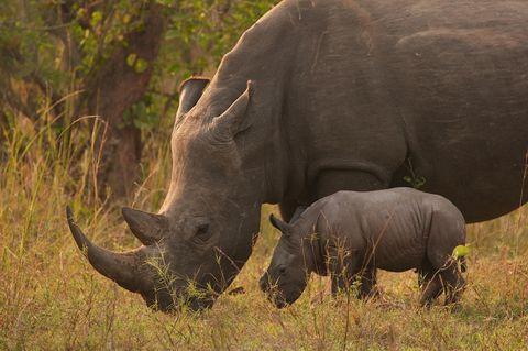 Breitmaulnashörner waren in Uganda seit 1983 ausgerottet. Im Ziwa Rhino Sancutary war der Bestand zuletzt auf 33 Tiere angewachsen