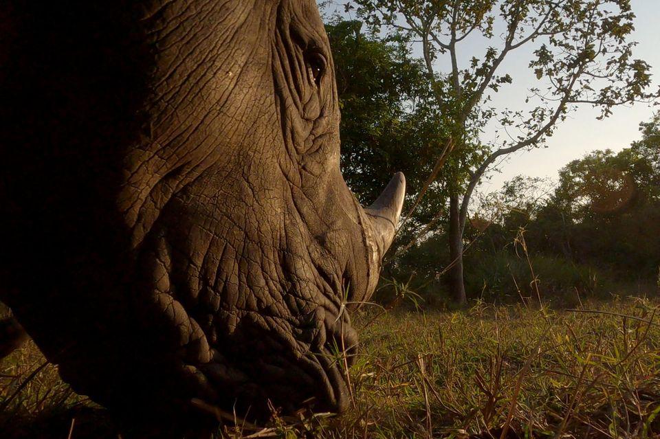 Im Ziwa Rhino Sanctuary kam Roland Gockel den urzeitlich anmutenden Riesen sehr nah