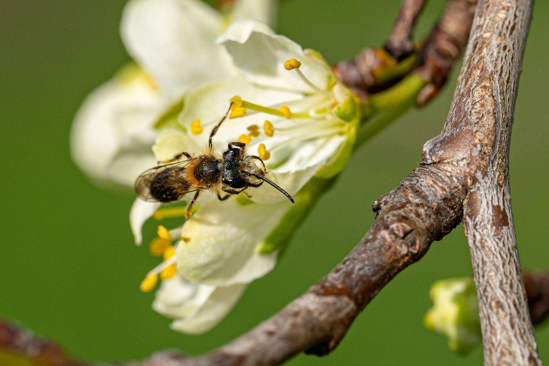 Kleine Wildbiene im Frühling sitzt auf einer Obstbaumblüte