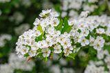 Weiße Blüten von Crataegus monogyna