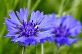 Kronblumen für Wildbienen