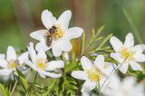 Buschwindröschen mit Wildbienen