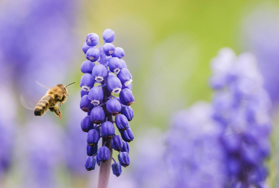 Wildbiene fliegt zu einer Perlhyazinte
