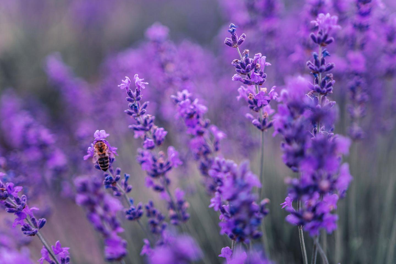 Lavendelpflanzen, auf denen eine Biene sitzt