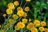 Färberkamille für Wildbienen