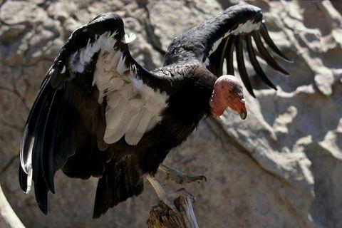 Er ist ein Gigant der Lüfte: Über bis zu drei Metern spannen die Flügel des Kalifornischen Kondors. Forscher und Tierschützer versuchen, den Vogel wieder in den USA anzusiedeln