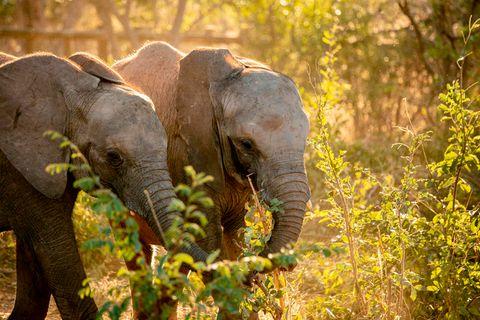 Amira und Mana erkunden ihr neues Zuhause im Panda Masuie-Wildtierpark. Sechs verwaiste Elefanten-Jungtiere haben nach einer knapp tausend Kilometer langen Reise eine neue Heimat an den Victoria-Wasserfällen gefunden