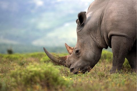 Nashorn in Südafrika auf einer Weide