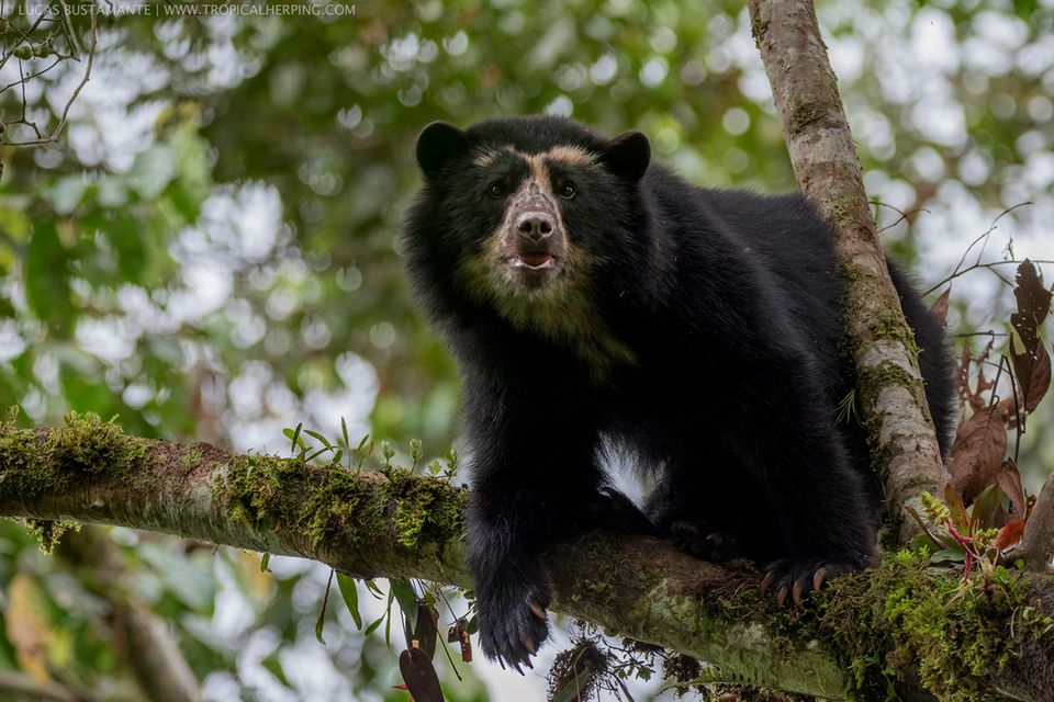 In den immergrünen, nebelverhangenen Wäldern an den Andenhängen leben bedrohte Brillenbären – die einzige Bärenart in Südamerika
