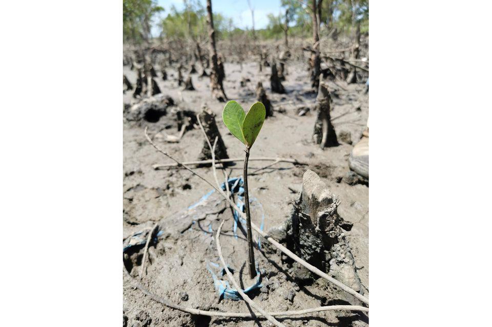 Ein Mangrovensetzling an der mosambikanischen Küste unweit von Beira. Mangroven spielen im Kampf gegen die Klimakrise eine entscheidende Rolle: Sie schützen die Küsten vor Überschwemmungen und binden große Mengen CO2 aus der Atmosphäre