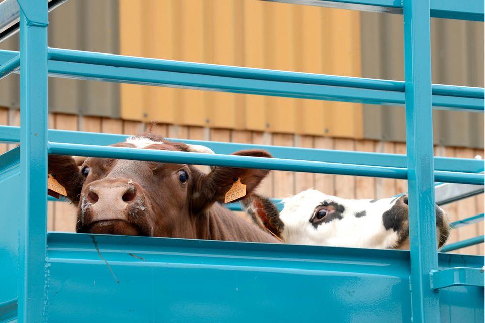 Tierschützer kritisieren Tiertransporte quer durch Europa seit Jahrzehnten. Immer wieder werden Verstöße gegen das Tierschutzgesetz dokumentiert