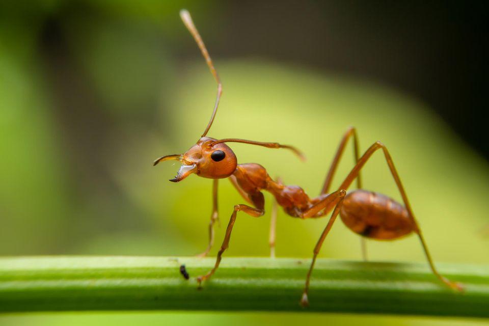 Staatenbildende Insekten wie Ameisen sind oft Ziel von Parasiten