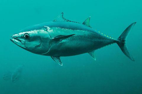 Ein Pazifischer Blauflossenthun schwimmt mit Hunderten Artgenossen in einem Netzkäfig nahe Kushimoto in Japan. Forscher in einem weltweit einmaligen Projekt brauchten mehr als 30 Jahre für seine Zucht. Und gründeten Restaurants, in denen der Fisch auf der Speisekarte steht