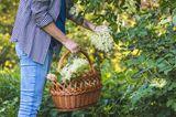 Frau mit Korb erntet Holunderblüten