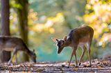 Rehe im Wald suchen den Boden ab
