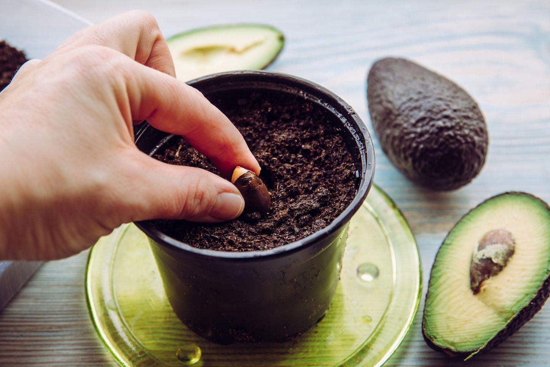Hand einer Frau steckt einen Avocadokern in die Erde zum Avocado züchten