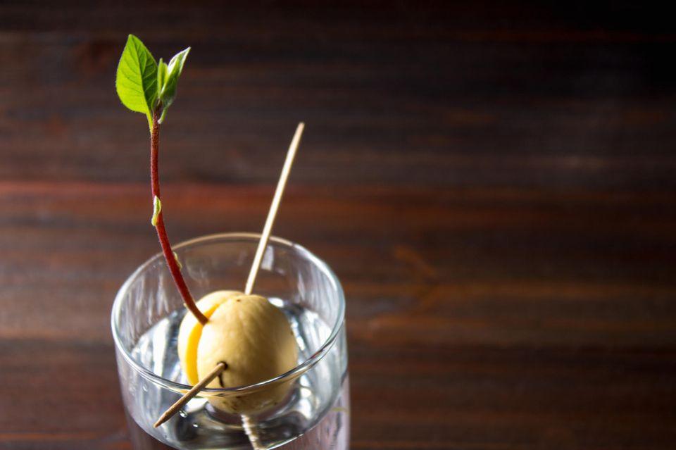 Avocadokern im Wasserglas
